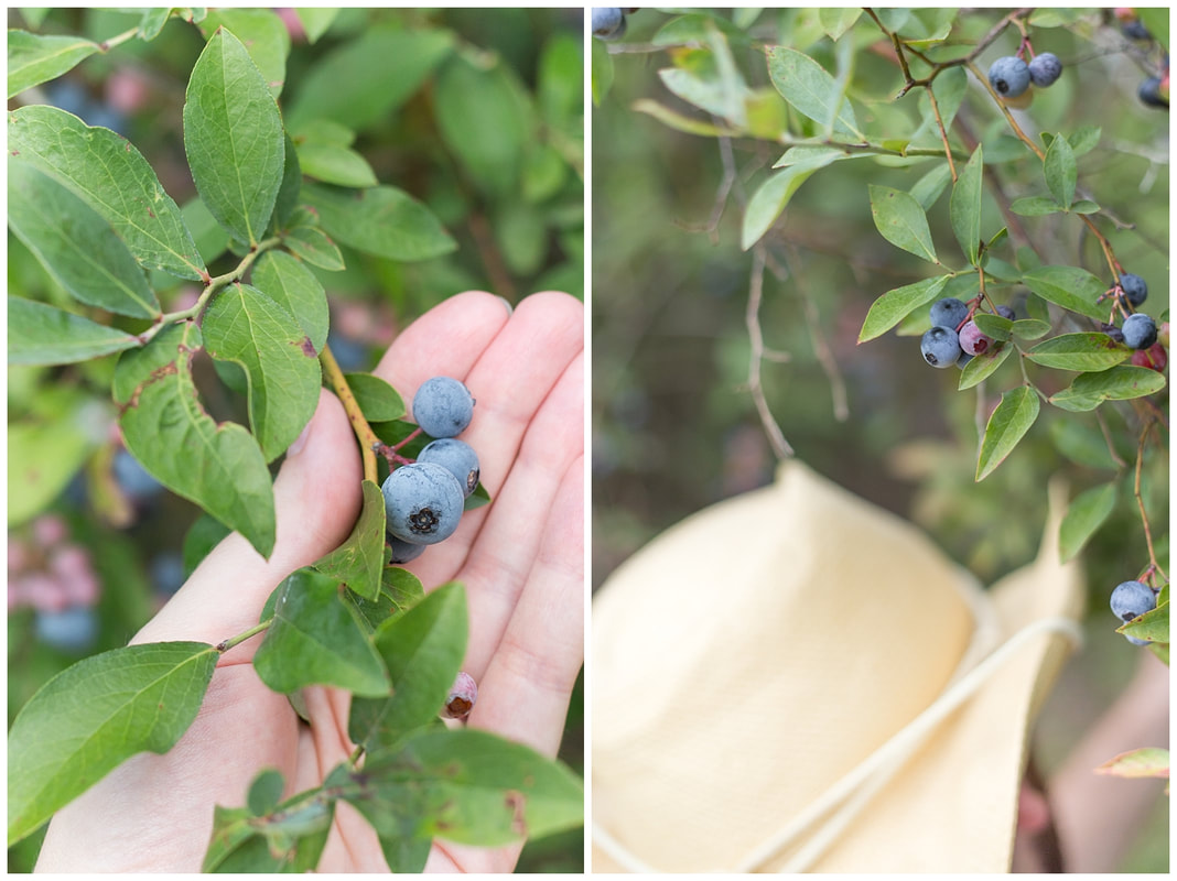 Picking blueberries is a favorite summer family traditions | Nicole Watford Photographer